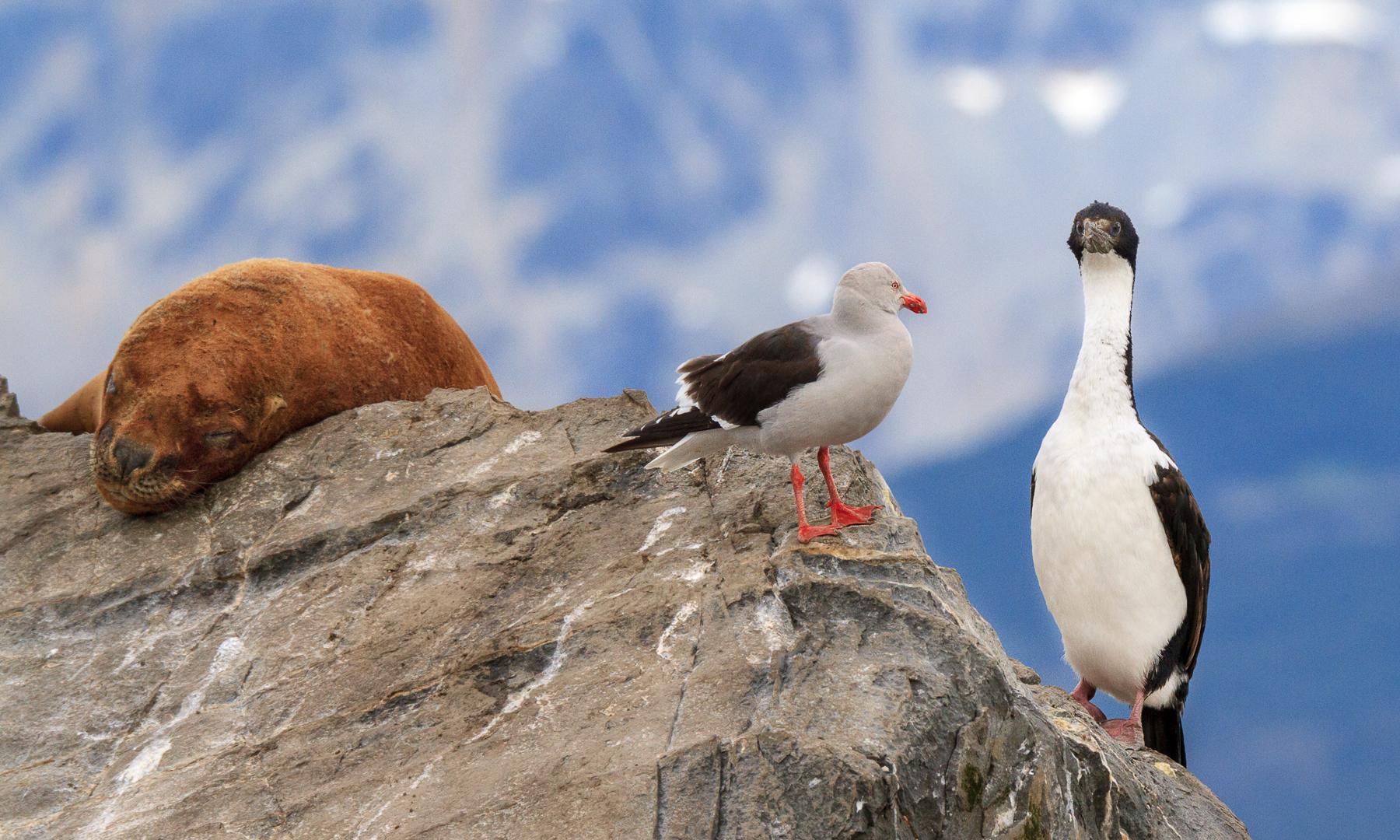 Imperial Shag (Cormorant), Kelp Gull, Seal,